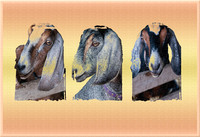 CMPS Sep Animals SWV- Goat triptych